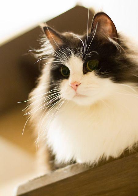 Ramu the Ragamuffin cat. I wants a kitty like dis one! Sooo fluffy