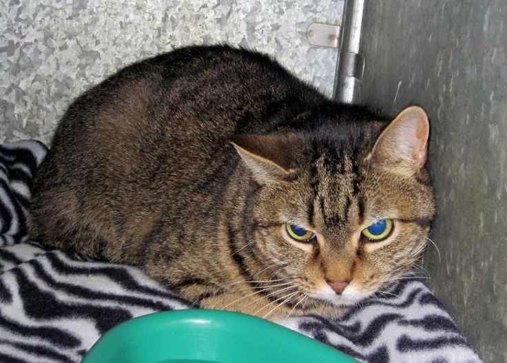 Adopt Robin On Petfinder Short Hair Cats Animal Shelter Animal Rescue