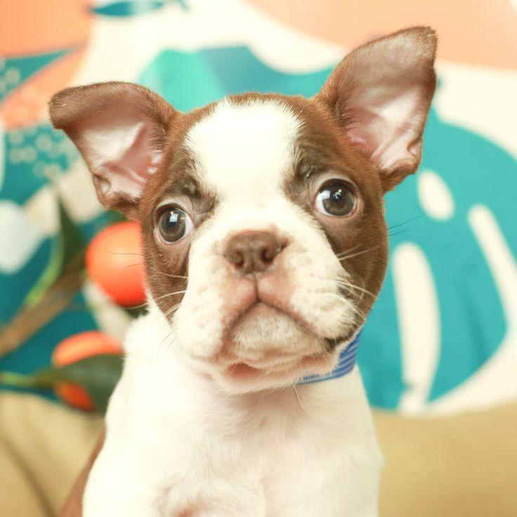 Boston terrier puppy boston terrier puppy boston