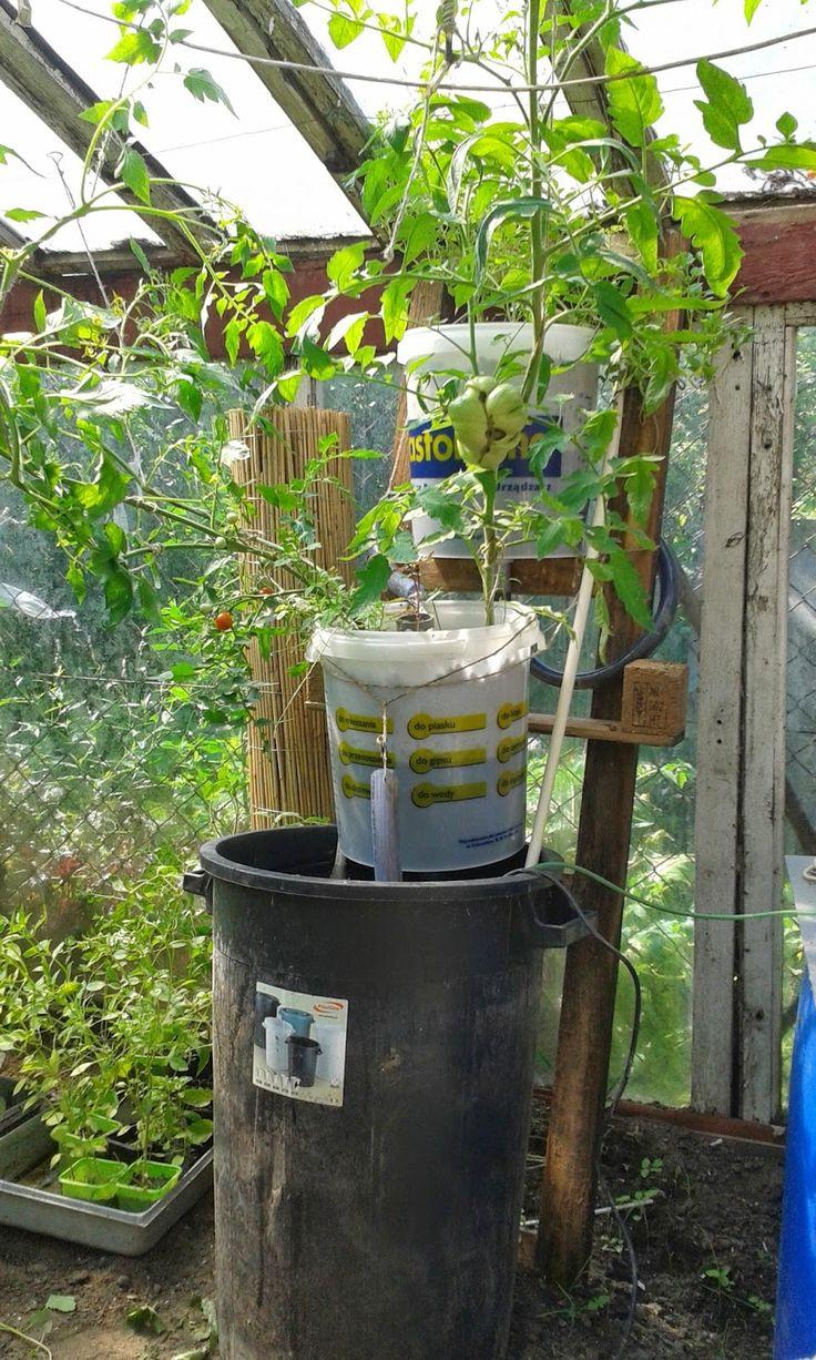 Akwaponika, czyli równoległa hodowla ryb w systemie zamkniętym i hydroponiczna uprawa roślin, to główny temat bloga.