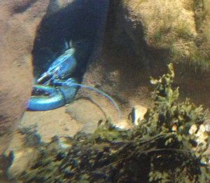 One of the blue lobsters at the Fundy Discovery Aquarium in St. Andrews by-the-Sea, NB