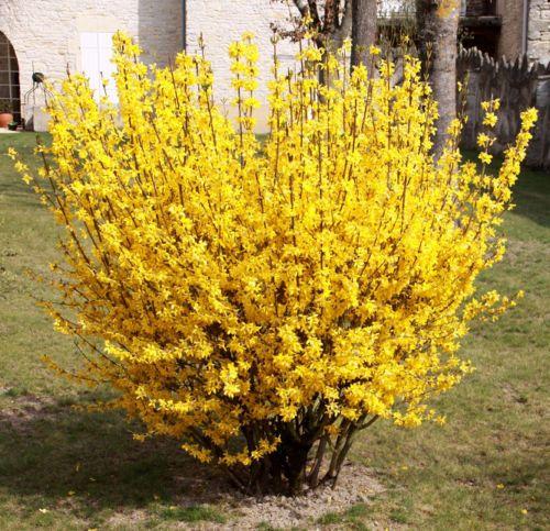 3x-Garden-shrubs-FORSYTHIA-bushes-BRIGHT-YELLOW-SPRING-FLOWERS-Ready-To-Plant