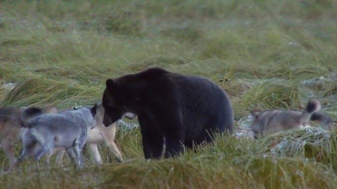 Kurtlar Tarafından Çevrilen Ayı- Mayıs ayında, bozayılar somonların gelmesini beklerken yiyecek bulmak için kıyılara inerler. Burası baharın yüzünü gösterdiği ilk yer. Annelerinin sütü dışında beslenemeyen yavrular epeyce büyüdü. Ancak annelerinin en son yemek yemesinin üzerinden ay geçti. Başka yiyeceklere ihtiyaçları var ve yiyecek arayışı hayatlarını tehlikeye atabilir. Bazı erkek ayılar yavruları öldürmeye çalışacak. Üreme mevsimi geldi çattı ve büyük erkek ayılar dişi arıyor.