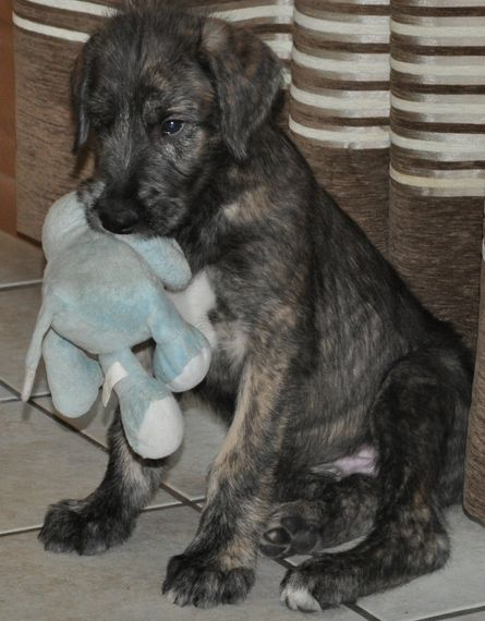 Irish Wolfhound Puppies Prices   Irish Wolfhound pup_cute puppy pictures.PNG