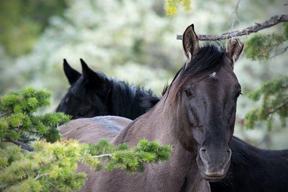 Wild mustangs, horse photo, equine art, wild horse, wild stallion, animal photograph, choice of sizes