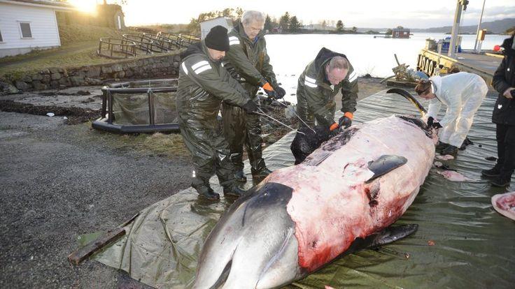 Müll im Meer: Wal hatte 30 Plastiktüten im Magen - SPIEGEL ONLINE - Nachrichten - Wissenschaft