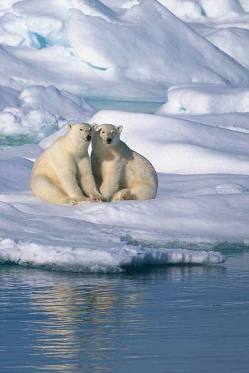 Polar bears ~ enjoying the sunshine while sitting in the snow & ice!