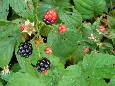 About Wild & Edible East Texas Plants