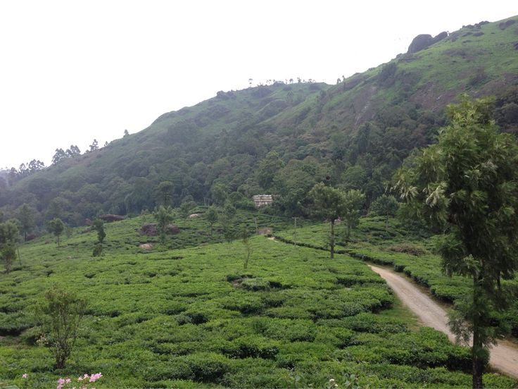 Tea plantations outside Windermere Estate in Munnar, Kerala with The Blue Yonder