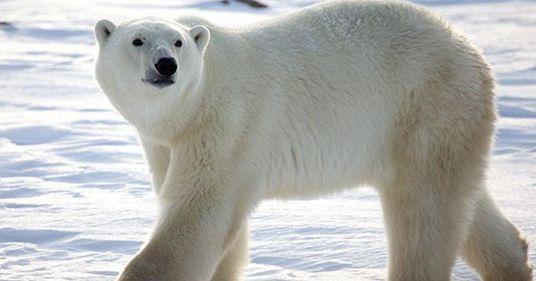 Νορβηγία: Πρόστιμο 1.300 ευρώ σε ξεναγό επειδή τρόμαξε πολική αρκούδα