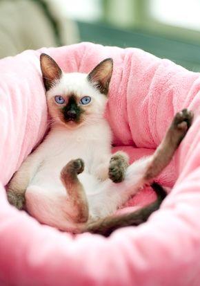 Как приучить питомца спать на кошачьем ложе? Вас совсем не умиляют попытки любимого кота устроиться на вашей кровати, на чистых простынях? Продолжение статьи  на сайте: http://www.magazindoberman.ru/blog/2015/04/29/Kak_priuchit'_pitomca_spat'_na_koshach'em_lozhe #Magazindoberman #Doberman #Доберман #Зоотовары #Зоомагазин  #интернетмагазин #russia #moscow #Корм #аксессуары #игрушки #Cat #Dog #Питомцы #Dezzie #Trixie #Himat #Aquael #Aquatlantis #Tetra  #Ferplast #fun #animal