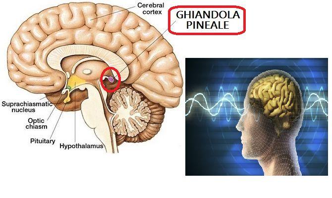 Ghiandola Pineale. Pochi conoscono la sua importanza. Essa ci aiuta nel funzionamento corretto del cervello ma non solo.Ecco cosa non bisogna sottovalutare.