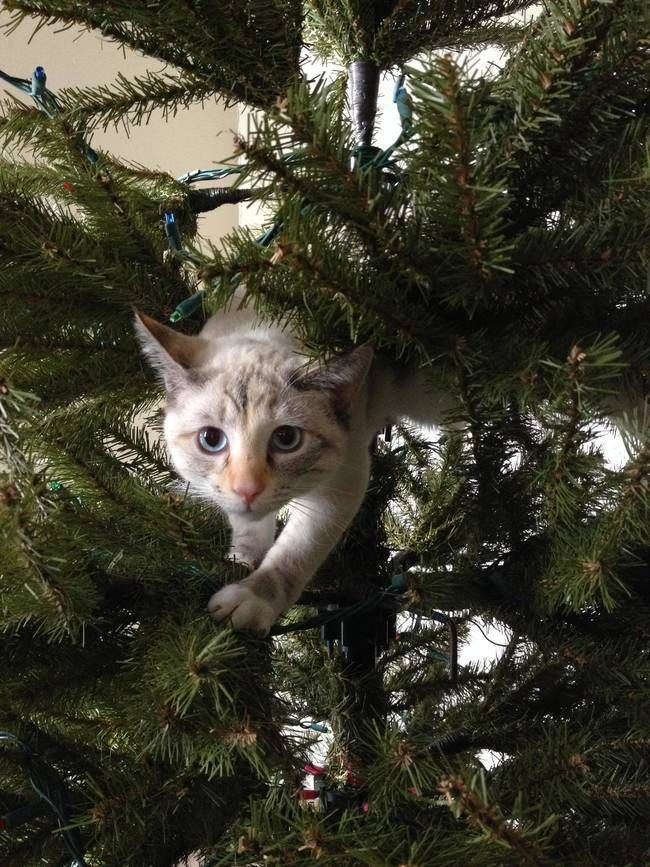Snow Flake. A Hilarious Compilation Of The Constant Battle Between Cats & Christmas Trees • Page 3 of 5 • BoredBug