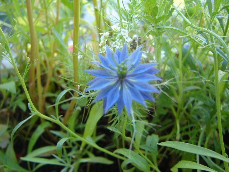 ...floare albastra....