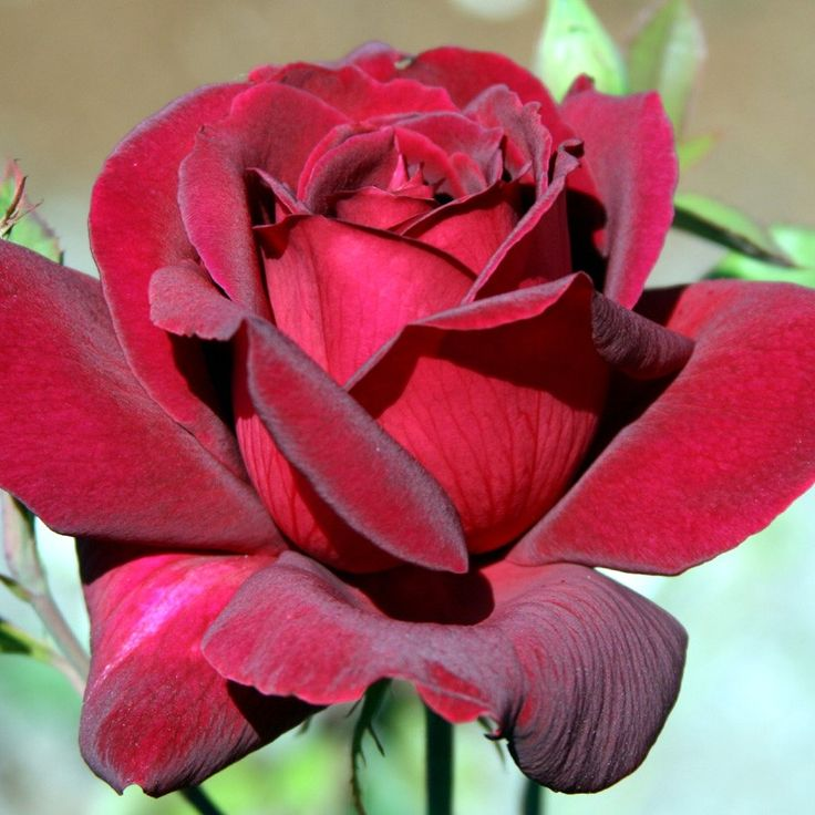 "Oklahoma, The color is so dark red that it is nearly black velvet in warm weather. Long pointed buds open into huge, fully double 5"" blooms (petals 30+) that are extremely fragrant with wonderfully strong, sweet old rose perfume. The bushy continual blooming plant is covered with leathery, dark green foliage. A vigorous grower. Makes a good cut flower."