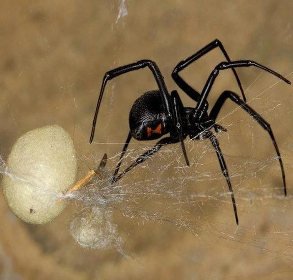 1000+ images about spiders on Pinterest | Spider, Spider ...