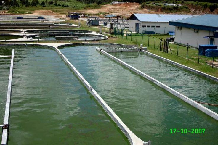 DXN Spirulina farming