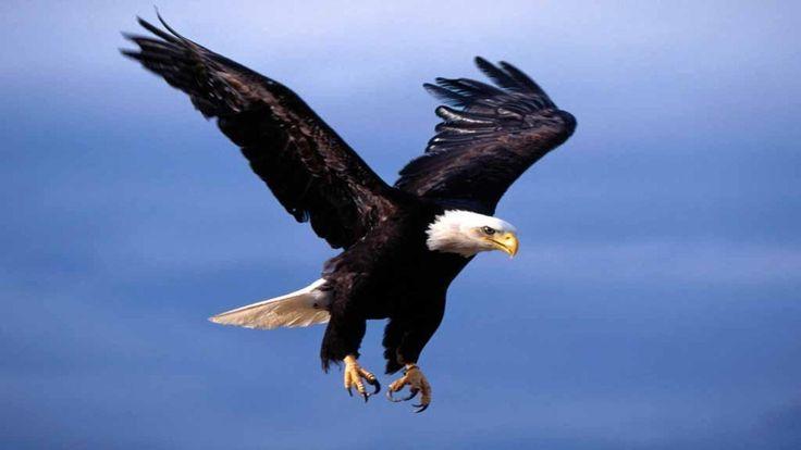 30 Best Eagle Images On Pinterest Eagle Images Bald Eagles And