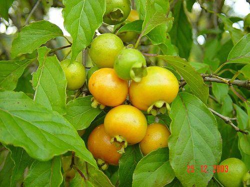 Gabiroba | chamada de vários nomes gabiroba, guabiroba, guabirova, guavirova, gavirova, araçá-congonha ou guavira nada mais é do que um fruto produzido através da planta gabirobeira. Um arbusto silvestre que cresce nos campos de quase todo o Brasil porém possui uma predominância nos campos e pastagens do Cerrado Brasileiro, nas regiões de Goiás, Mato Grosso, Mato Grosso do Sul e Minas gerais | Paracatu é conhecida como a Terra da Gabiroba