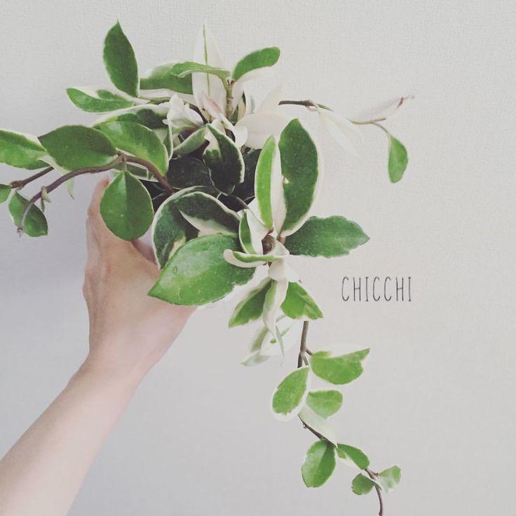 ホヤ・カルノーサ・リップカラーに一目惚れ #green #plants #plantlife #plantlove #indoorgarden #indoorplants #houseplants #hoyacarnosa #植物 #植物のある暮らし #インテリアグリーン #ホヤ #ホヤカルノーサリップカラー