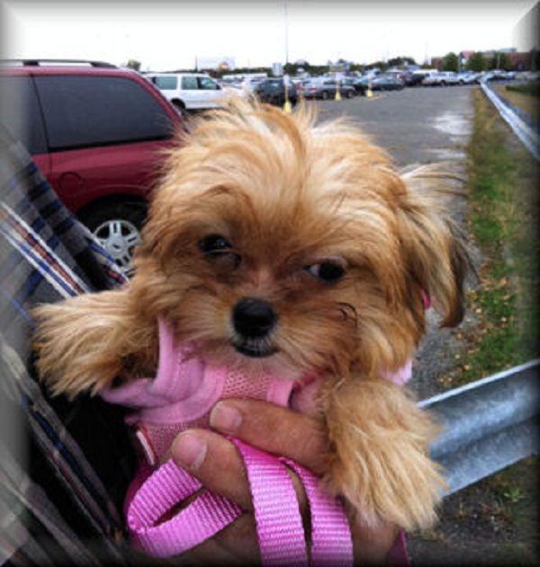 teacup shorkie puppies for sale | Zoe Fans Blog