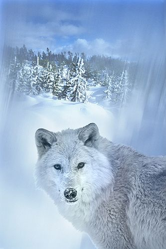 ~~Wolf in the Snow by Gail Shumway Photography~~
