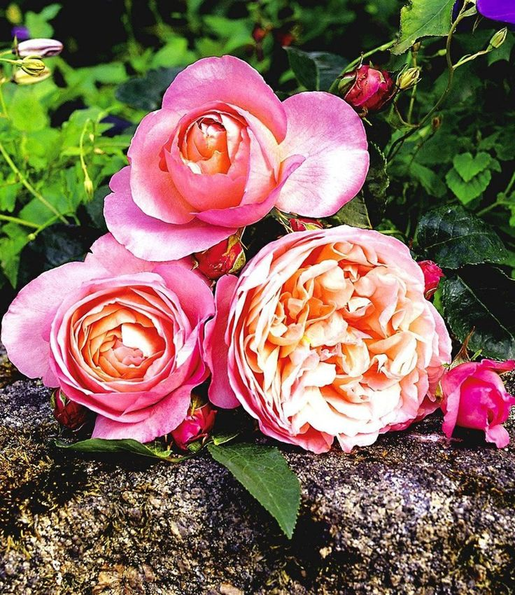 122 Best Rosen Images On Pinterest | Roses, Right Guy And Roses Garden