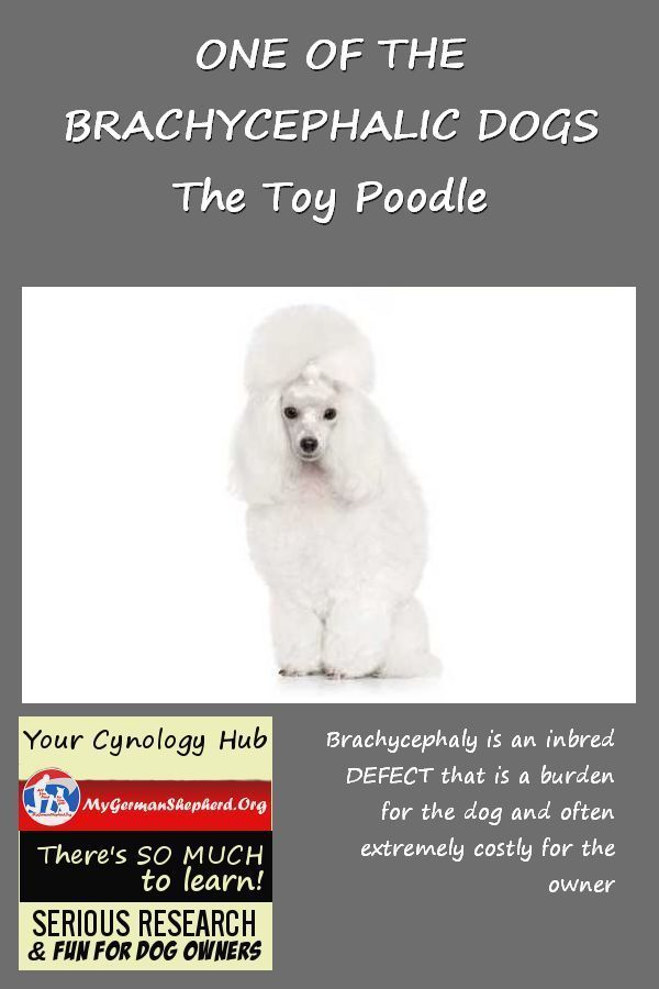 One Of The Brachycephalic Dogs The Toy Poodle Smartest Dogs