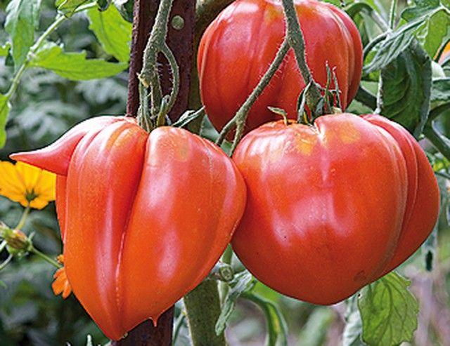 Quand cueillir les tomates ? - Récolter la variété de tomate 'Coeur de boeuf'