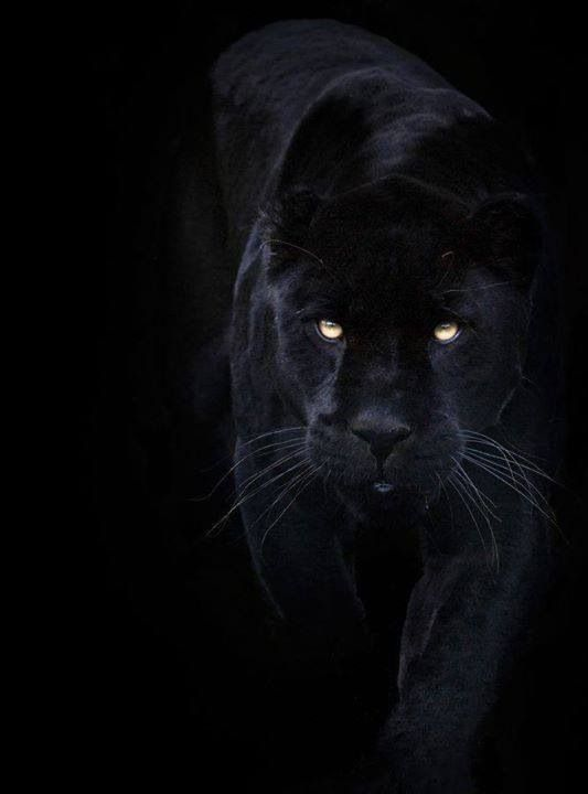 Black Panther | Felines.. Cats..Tigers, Panthers, etc ... - photo#44