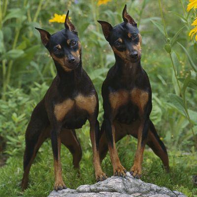 Pinscher Miniatura - Guia de Raça de Cachorro - Dog Times