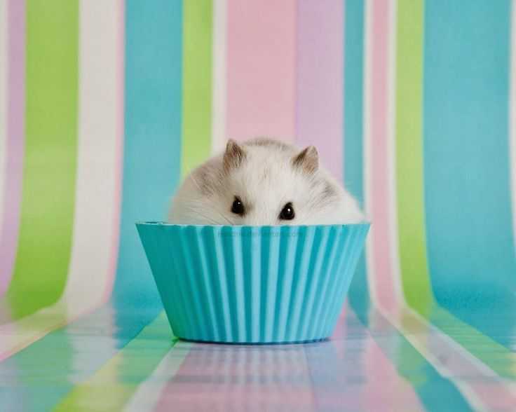 Winter White Hamster Also known as the Winter White Dwarf Hamster, Djungarian Hamster or the Siberian Hamster, is just one of three various types of hamster