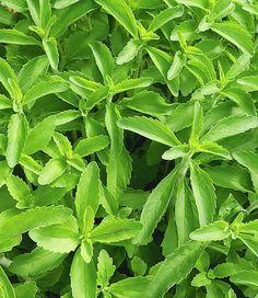 Stevia Pflanze Anbau, Vermehrung, Pflege und Verwendung http://zuckerersatz-info.de/stevia-pflanze/