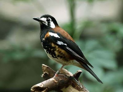Burung Anis Kembang (Punglor) eksotis #burung #bird #hewan #animals #peliharaan #pets #photography