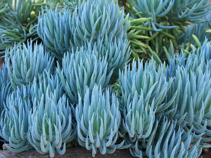 Curio talinoides var. mandraliscae - Blue Finger
