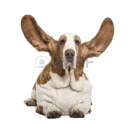 Бассет-хаунд лежал с ушей, и, глядя на камеру, изолированных на белом фото