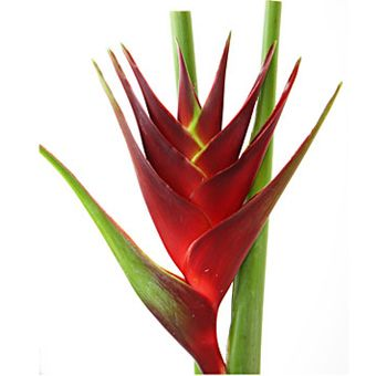 Google Image Result for http://www.wholeblossoms.com/images/Heliconia-Dark-Red.jpg