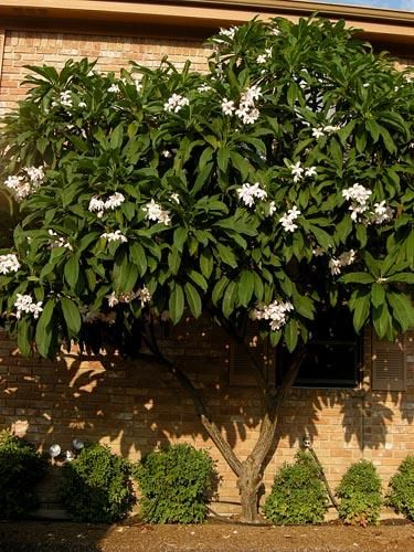 plumeria tree also known as frangipani and the Hawaiian Lei Flower tree