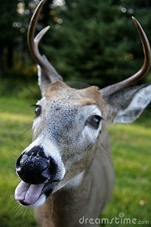 funny deer pictures | Funny Deer Face Royalty Free Stock Photo - Image: 606745