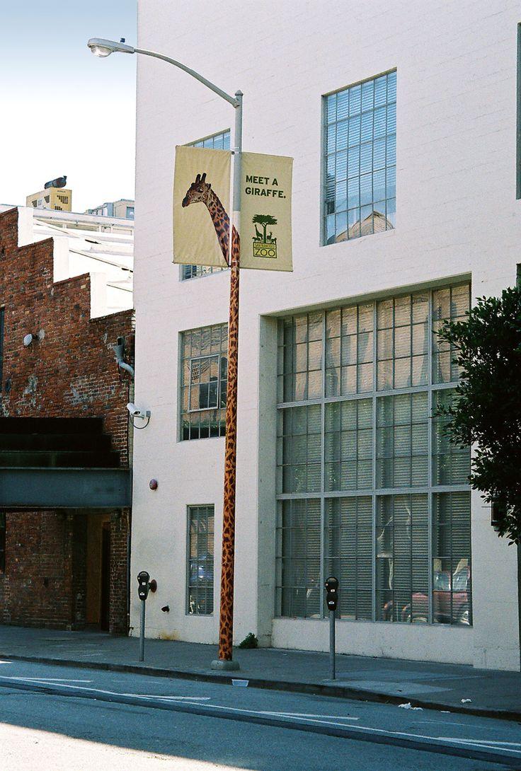 San Francisco Zoo: Giraffe
