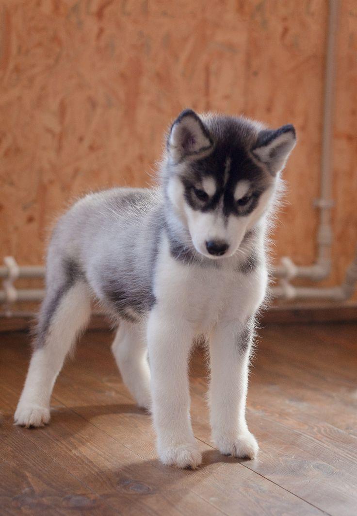 Siberische Husky (puppy)