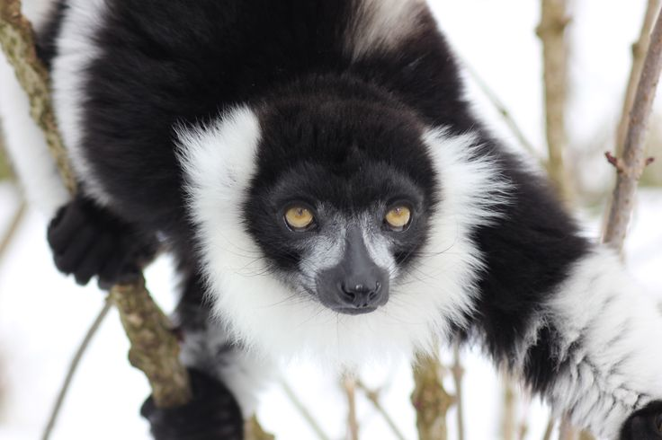 Black and White Ruffed Lemur - thank goodness for that fur, it's a built in scarf!