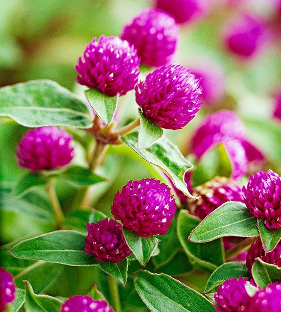 how to grow globe amaranth from seed