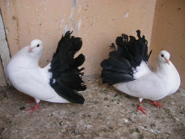 indian fantail pigeon | English Fantail Pigeons For Sale