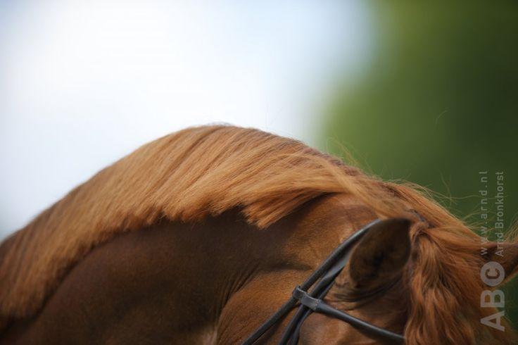 Hyperflexie, de extreme buigingvan hoofd en hals, mag geenplaats hebben indetraining van paarden. Dat zegt de International Society for Equitation Science (ISES) in een nieuwe standpuntverklaring die afgelopen weekgepresenteerd werd tijdens de ISES-conferentie. De discussie rond hyperflexie, ook wel bekend…