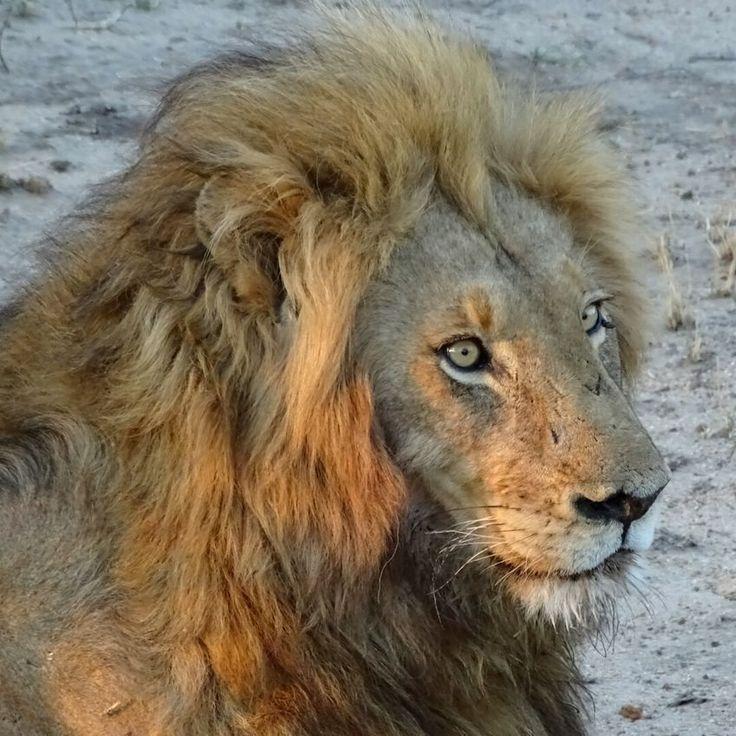 King Lion HEAD South Africa First Eyeem Photo