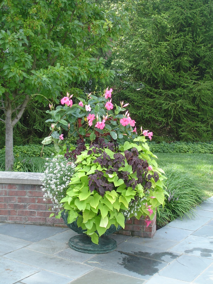 Mandevilla, coleus, vining alysum and potato vine.  so I didn't use the alyssum but I just recreated this container, details to come...: Container Garden, 960 1 280 Pixel, 9601280 Pixel, Beautiful Planters, 600 800 Pixel, House, Sweet Potatoes, Potatoes Vines W,  Flowerpot