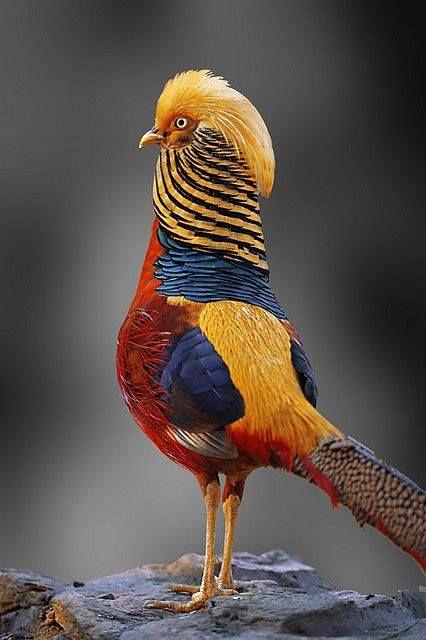 Golden Pheasant...que lindo! Estou encantada com as cores desse pássaro.  quero um de presente
