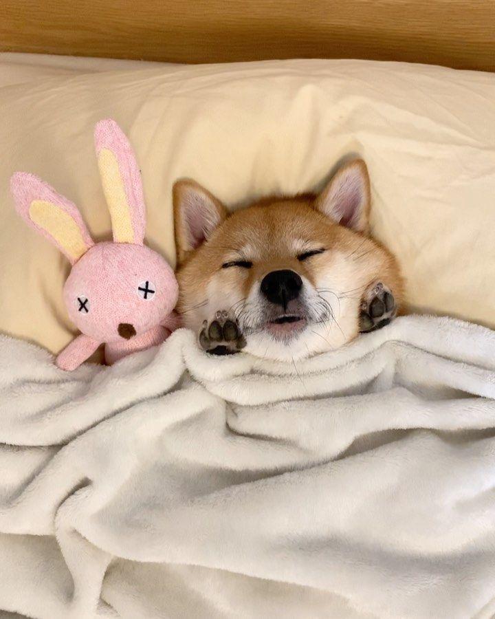 柴犬 Hana On Instagram ほっぺに添えられた小さな手 可愛すぎるよ 今日は今後控えている撮影の準備でお風呂に入れてもらったよ お店に入った瞬間スタッフさんにスライディングでおなか見せ ナデナデしてもらってたよ 柴犬 柴犬