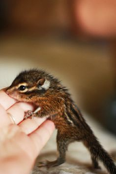 Chipmunks | Flickr - Photo Sharing!